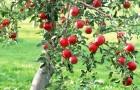 Легкий курс, как посадить в саду яблоню