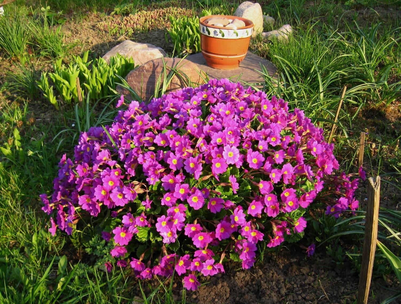 Цветы дачные многолетники