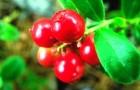 Брусника (а не ягода асаи) помогает в борьбе с лишним жиром