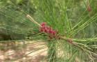 Казуарина хвощелистная