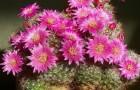 Маммиллярия, крупноцветковые виды