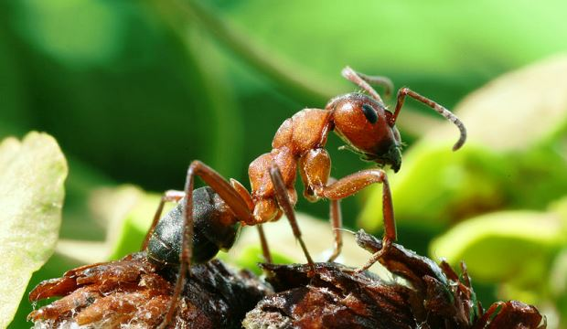 Муравьи на защите растений от патогенов