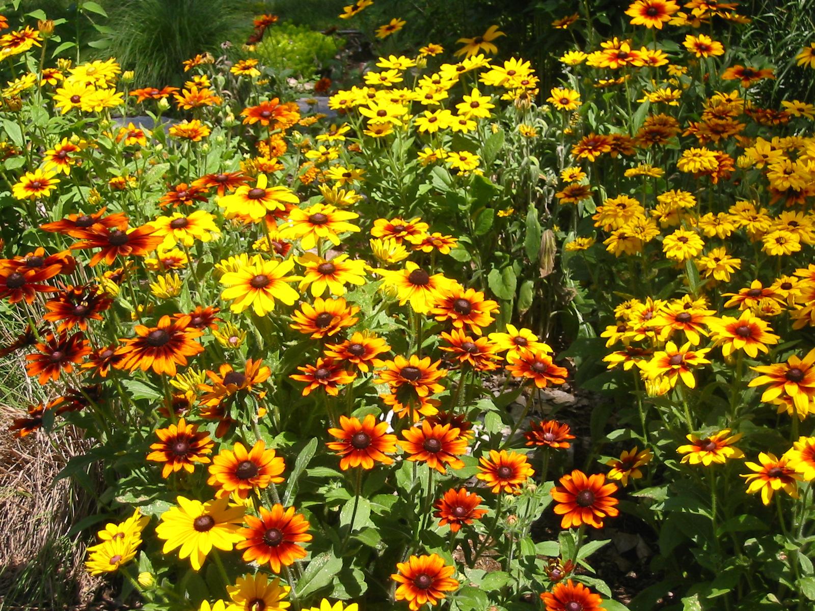 Садовые однолетние цветы по алфавиту
