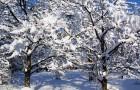 Зимние прививки деревьев