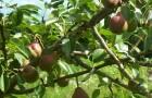 7 причин посадить у себя в саду грушевое дерево