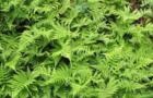 Фегоптерис связывающий, или Щитовник буковый