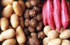 ГМ картофель сопротивляется фитофторозу
