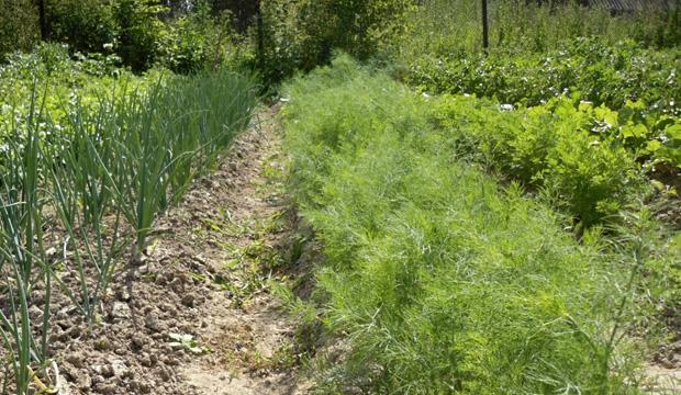 Десять самых полезных растений с грядки