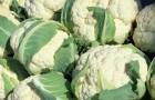 Использование капусты цветной, кольраби и брокколи в диетах