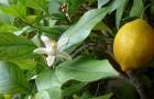 Использование лимона в диетах