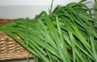 Использование репчатого и зеленого лука в диетах