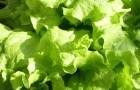 Использование салата листового в диетах
