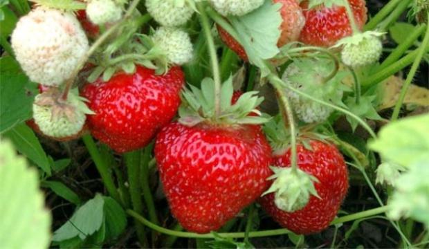 Использование земляники лесной и клубники в диетах