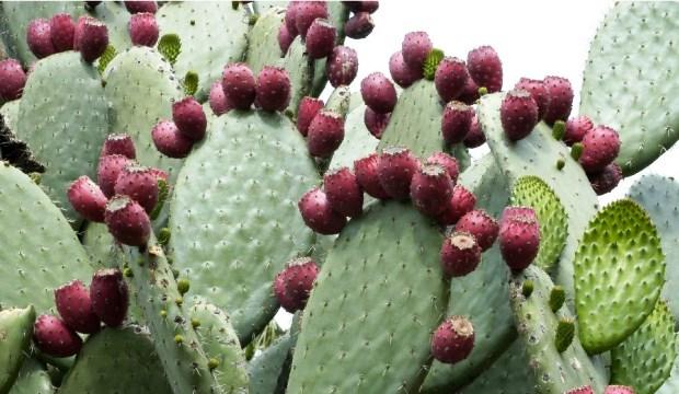 Колючая груша – целебное растение