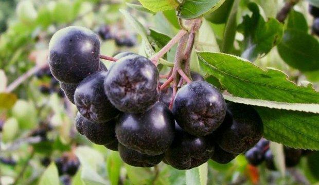 Кулинария для диабетика — арония (рябина) черноплодная