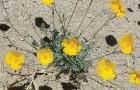 Два новых вида пустынных маков из Калифорнии
