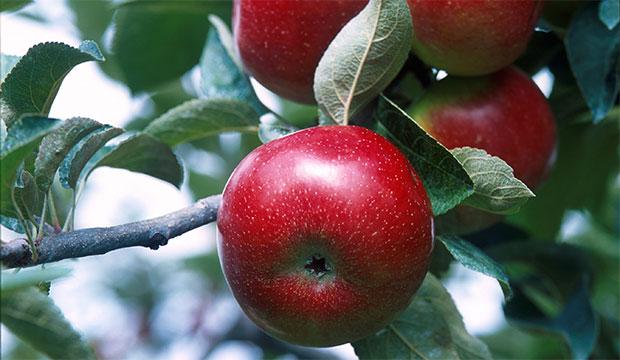 Откуда взялись названия самых популярных сортов яблок