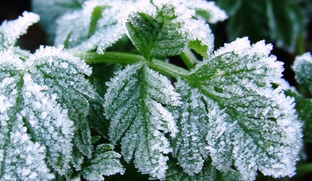 Большинство растений способны пережить внезапные заморозки