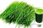 Чем полезна ячменная трава