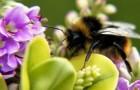 Дикие пчёлы – страховка вашего урожая