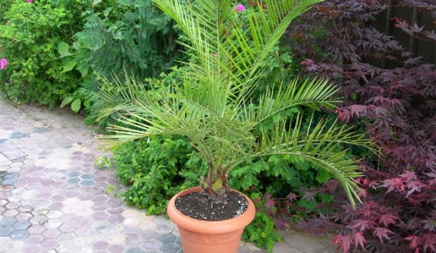 Финик пальчатый, или финиковая пальма пальчатая