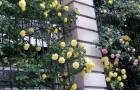 Формирование роз на вертикальных опорах