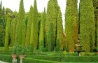 Кипарис вечнозеленый