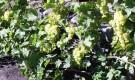 Кордонное формирование винограда