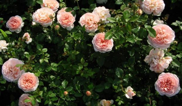 Крупноцветковые кустовые розы