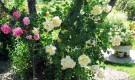 Обрезка крупноцветковых плетистых роз