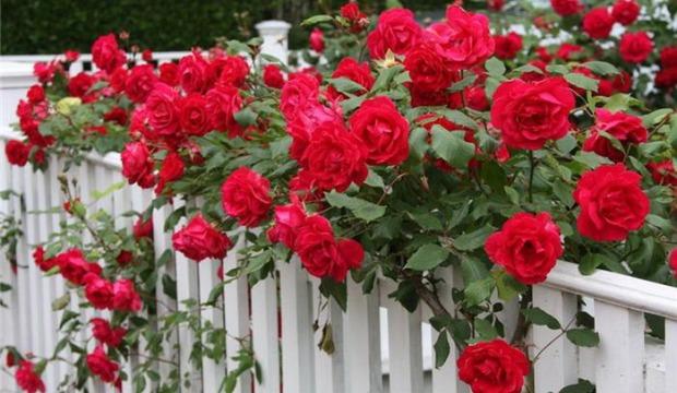 Мелкоцветковые плетистые розы