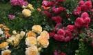 Обрезка многоцветковых кустовых роз