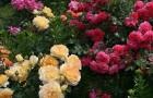 Многоцветковые кустовые розы