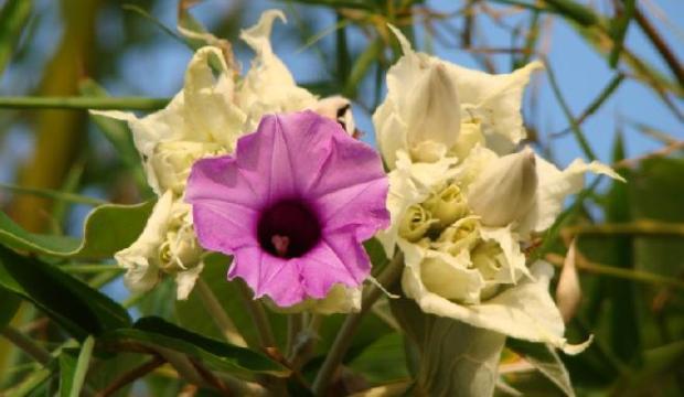 Обрезка мерримии (большая гавайская древесная роза)