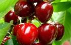 Обрезка сливы, вишни, лавровишни, абрикоса, миндаля и др.