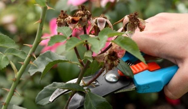 Основы техники обрезки роз