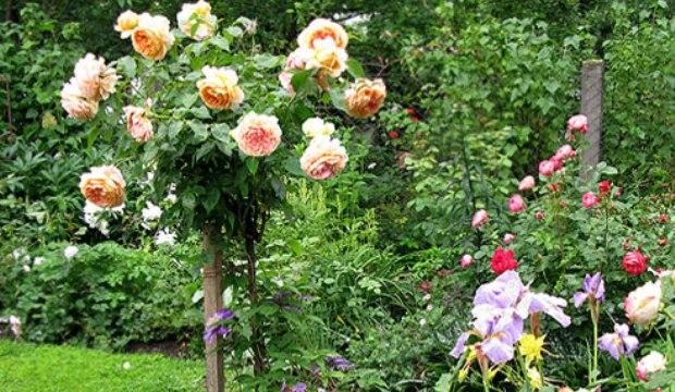 Плакучие штамбовые розы