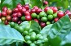 Почему кофе лучше всего выращивать в тени