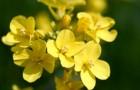 Растения меняют аромат, чтобы привлекать и отталкивать насекомых