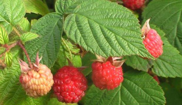 Размножение плодовых и ягодных культур