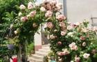 Регулярный уход за розами