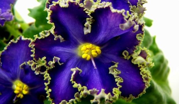 Сенполия фиалкоцветковая или Узумбарская фиалка