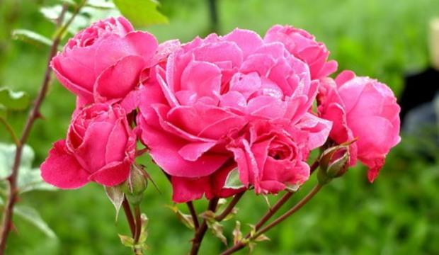 Современные кустовые (клумбовые) розы