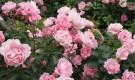 Обрезка современных парковых роз
