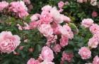 Современные парковые розы