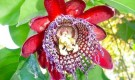 Обрезка страстоцвета, пассифлоры