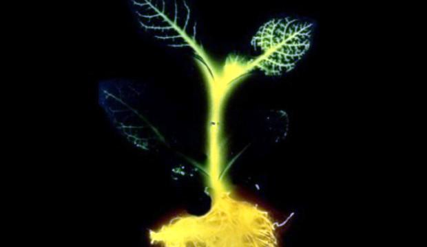 Светящиеся растения у вас в саду