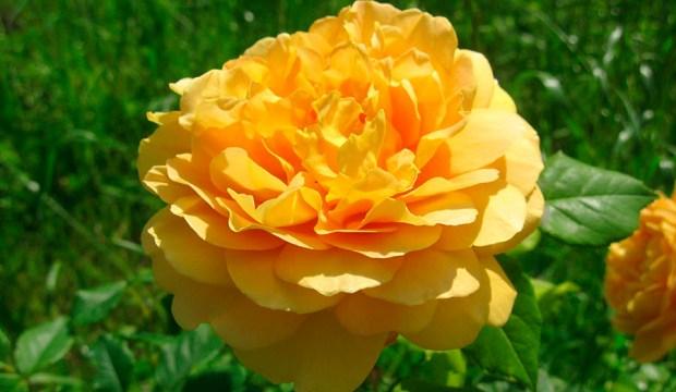 Типы и группы роз