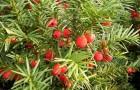Тисс ягодный