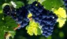 Обрезка винограда